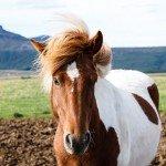 Icelandic Horses, Reykjavik, Þingvellir National Park, Geysir, the Countryside, and Food Faves